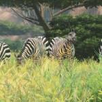 CAA_Zebra_1381160332